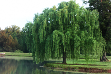 cropped-willow-tree-on-lake-e1399900601773-1